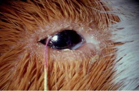 Rabbit and rodent ophthalmology