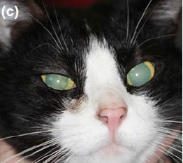 Clinical effect of four different ointment bases on healthy cat eyes