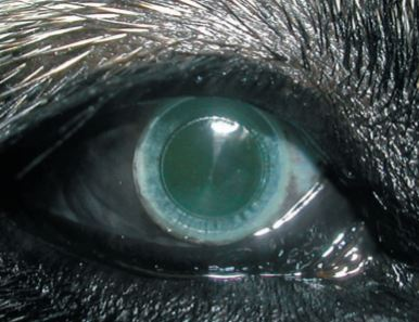 Keratoprosthesis with retrocorneal fixation: preliminary results in dogs with corneal blindness