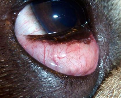 Marsupialization of a cyst of the nictitating membrane in three dogs