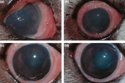 Use of episcleral cyclosporine implants in dogs with keratoconjunctivitis sicca