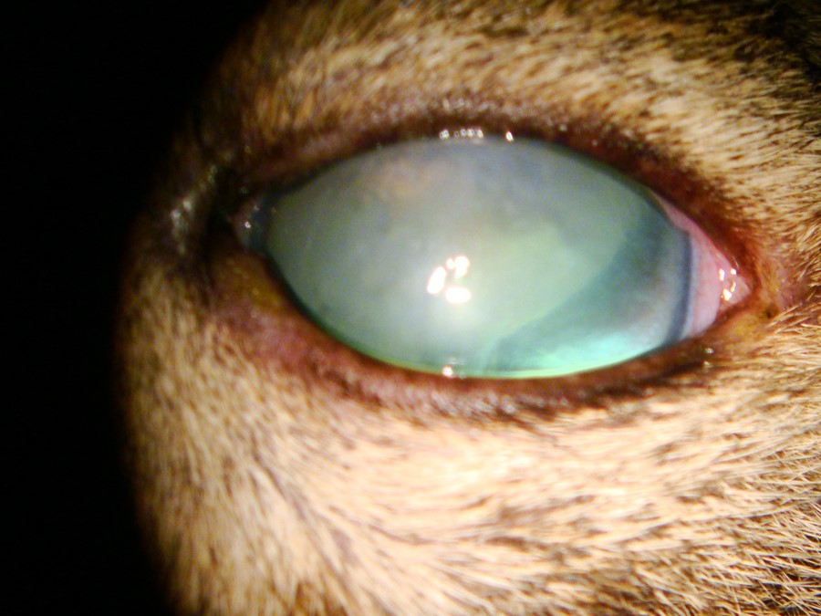 Effects of topical corticosteroid administration on intraocular pressure in normal and glaucomatous cats