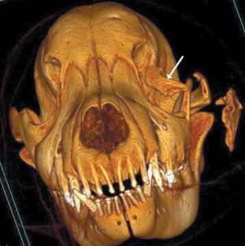 Surgical correction of severe strabismus and enophthalmos secondary to zygomatic arch fracture in a dog