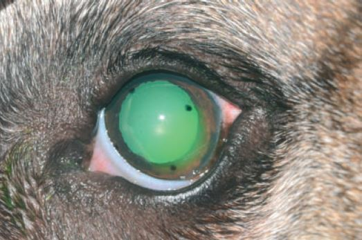 Management of spontaneous chronic corneal epithelial defects (SCCEDs) in dogs with diamond burr debridement and placement of a bandage contact lens