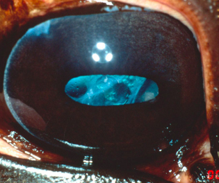 Visual outcomes of phacoemulsification cataract surgery in horses: 1990–2013