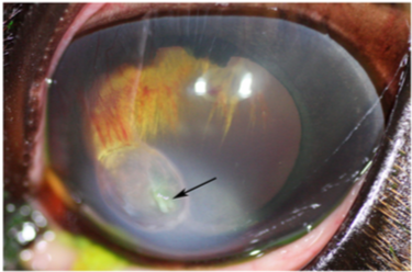 Corneal cross-linking in 9 horses with ulcerative keratitis