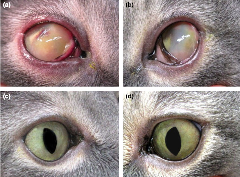 Use of an ophthalmic formulation of Megestrol acetate for the treatment of eosinophilic keratitis in cats