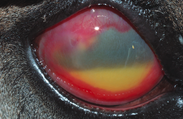 Equine corneal stromal abscesses: An evolution in the understanding of pathogenesis and treatment during the past 30 years