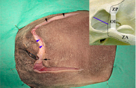 Surgical approach for extensive orbital exenteration in dogs