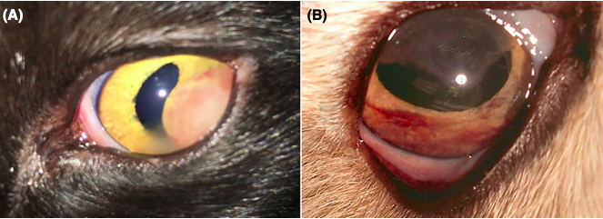 Clinical and histopathological classification of feline intraocular lymphoma