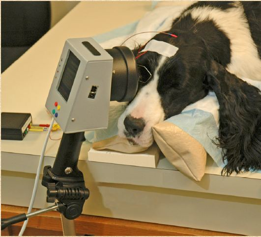 Screening for late on-set progressive retinal atrophy in English Springer Spaniel