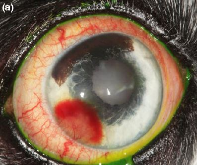 Intracorneal stromal hemorrhage in dogs and its associations with ocular and systemic disease