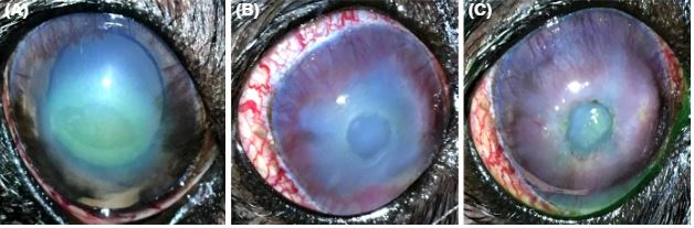 Corneal hypoesthesia, aqueous tear deficiency, and neurotrophic keratopathy following micropulse transscleral cyclophotocoagulation in dogs