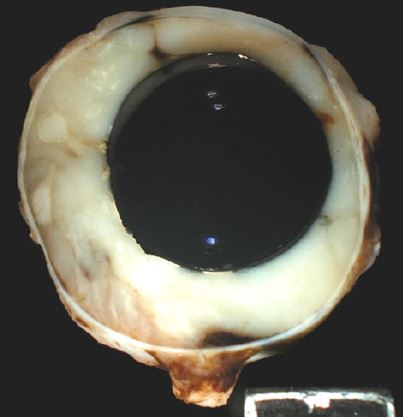 Histopathological study of the causes for failure of intrascleral prostheses in dogs and cats