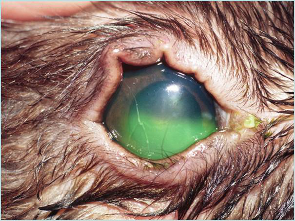 Topical treatment of non-healing corneal epithelial ulcers in dogs with aminocaproic acid