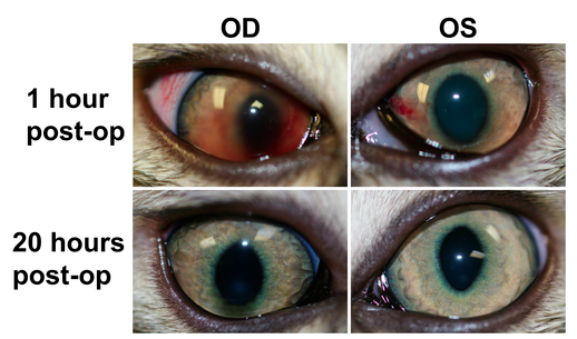 Feline post-sterilization hyphema