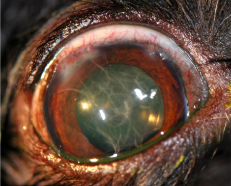 """Postoperative """"fibrin web"""" formation after canine cataract surgery"""